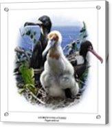 Andrews Frigatebird Fregata Andrewsi 1 Acrylic Print