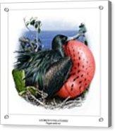 Andrews Frigatebird Fregata Andrewsi 3 Acrylic Print