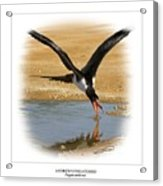 Andrews Frigatebird Fregata Andrewsi 4 Acrylic Print
