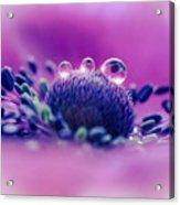 Anemone 05-1 Acrylic Print