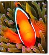 Anemone Fish Acrylic Print
