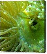 Anemone Shrimp2 Acrylic Print