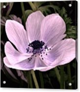 Anemore In Pink Acrylic Print