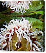 Anenome Reflection Acrylic Print