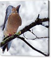 Angel Mourning Dove Acrylic Print