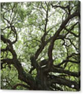 Angel Oak Branches Acrylic Print
