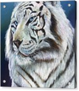 Angel The White Tiger Acrylic Print