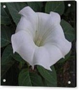 Angel Trumpet - Color Acrylic Print