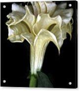 Angel Trumpet Acrylic Print