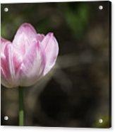 Angelique Peony Tulip 2 Acrylic Print