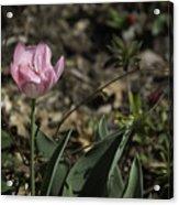 Angelique Peony Tulip Acrylic Print
