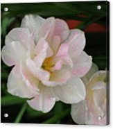 Angelique Tulips Acrylic Print by Beverly Cazzell