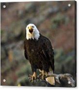 Angry Bald Eagle Acrylic Print