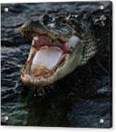 Angry Gator Acrylic Print