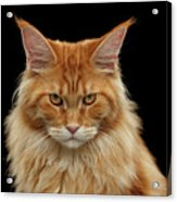 Angry Ginger Maine Coon Cat Gazing On Black Background Acrylic Print
