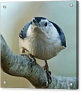 Angry White Breasted Nuthatch Acrylic Print