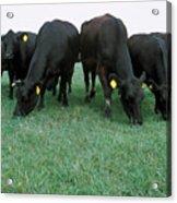 Angus Cattle Acrylic Print