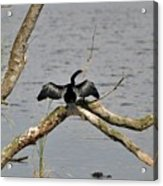 Anhinga And Alligator Acrylic Print