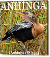 Anhinga The Swimming Bird Acrylic Print
