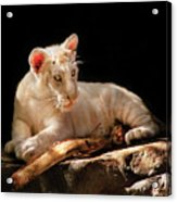 Animal - Cat - A Baby Snow Tiger Acrylic Print