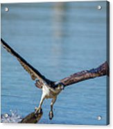 Animal - Bird - Osprey Catching A Fish Acrylic Print