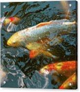 Animal - Fish - Bestow Good Fortune Acrylic Print