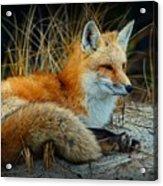 Animal - The Alert Fox  Acrylic Print