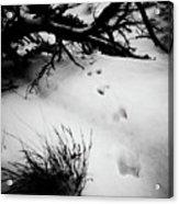 Animal Tracks Acrylic Print