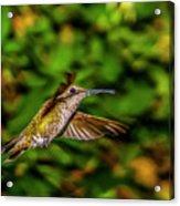 Anna Hummingbird  In Flight 2 Acrylic Print