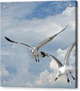 Anna Maria Laughing Gulls Acrylic Print