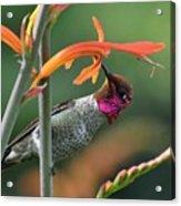 Anna's Hummingbird 1 Acrylic Print
