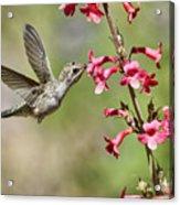 Anna's Hummingbird And The Penstemon  Acrylic Print