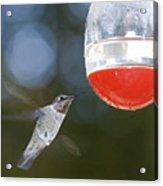 Annas Hummingbird Calypte Anna Acrylic Print