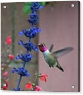 Anna's Hummingbird Feasting At Blue Salvia Acrylic Print