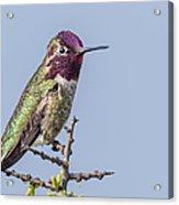 Anna's Hummingbird Perched Acrylic Print