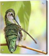 Anna's Hummingbird - Preening Acrylic Print