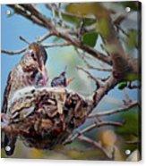 Anna's Hummingbirds Acrylic Print