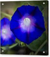 Annie's Morning Glories Acrylic Print