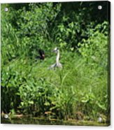 Annoyed - Heron and Red Winged Blackbird 5 of 10 Acrylic Print