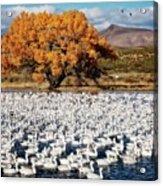 Annual Snow Geese Meet-up, Bosque Del Apache, New Mexico Acrylic Print