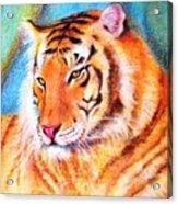 Ano Do Tigre Acrylic Print