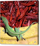 Anole Getting A Better Look Acrylic Print