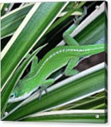 Anole Hiding In Spider Plant Acrylic Print