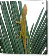 Anole With Palm - Curious Acrylic Print