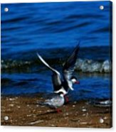 Another One Take A Tern Acrylic Print