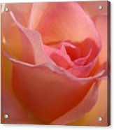 Another Pink Rose Acrylic Print