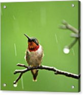 Another Rainy Day Hummingbird Acrylic Print