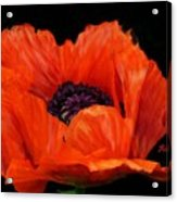 Another Red Poppy Acrylic Print