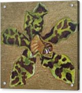 Ansellia Species Acrylic Print