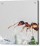 Ant Macro Photography Acrylic Print